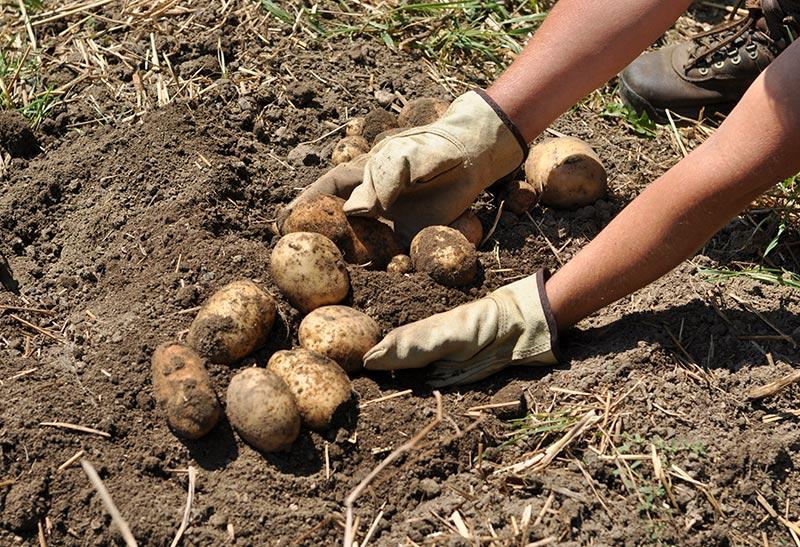 Копая картофель, проверьте, нет ли  золотистистой картофельной нематоды