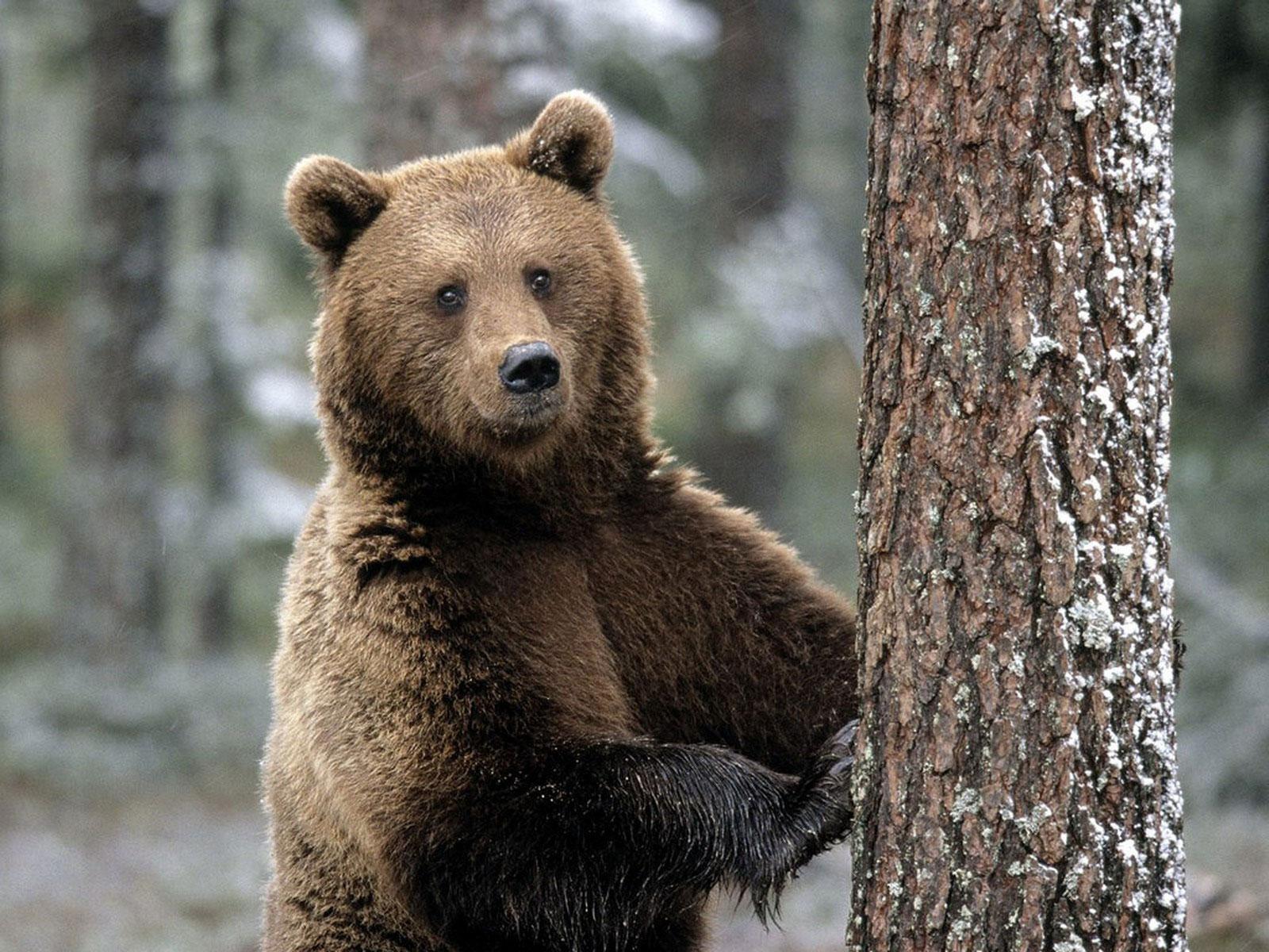 В Алтайском крае грибники встретили медведя и убежали от него на машине
