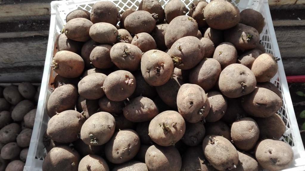 Требования к качеству семенного картофеля