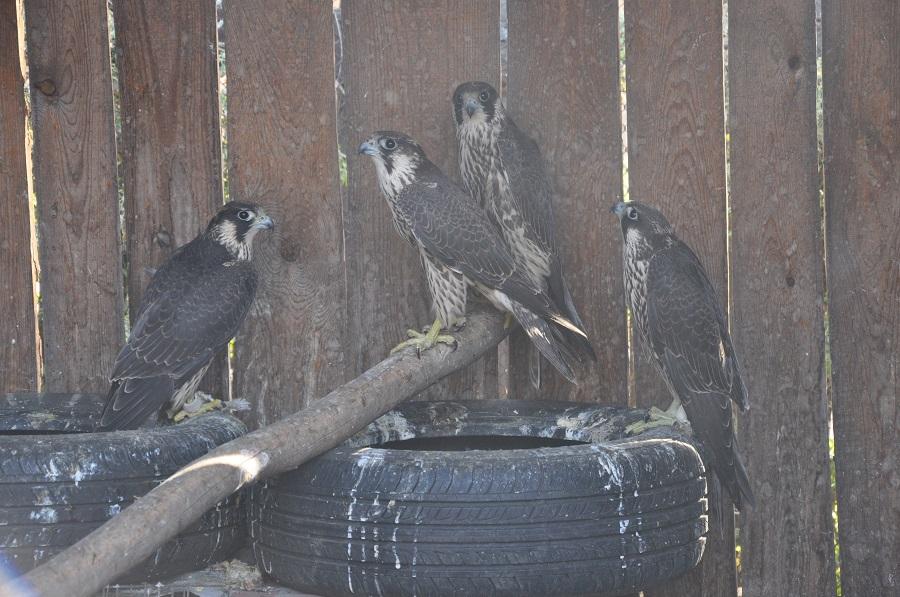 Алтайские пограничники пресекли контрабанду краснокнижных птиц