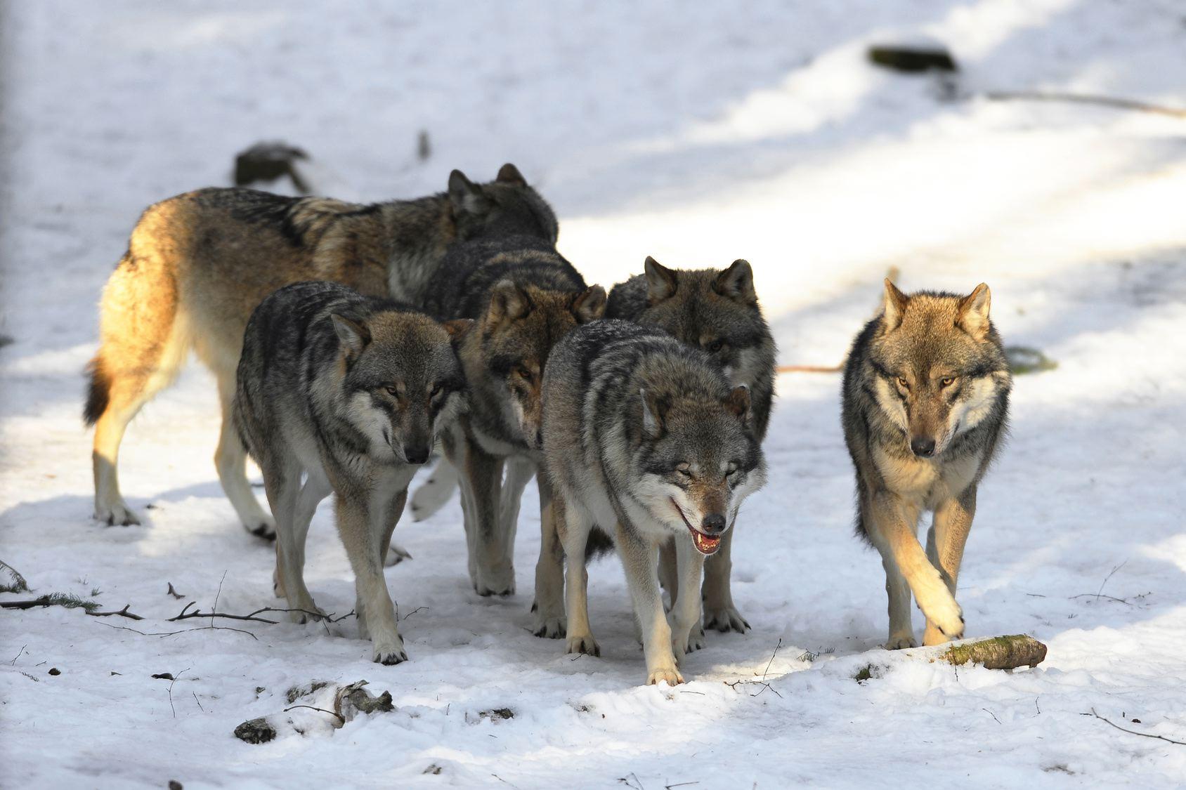 Стаю волков заметили в Алтайском крае