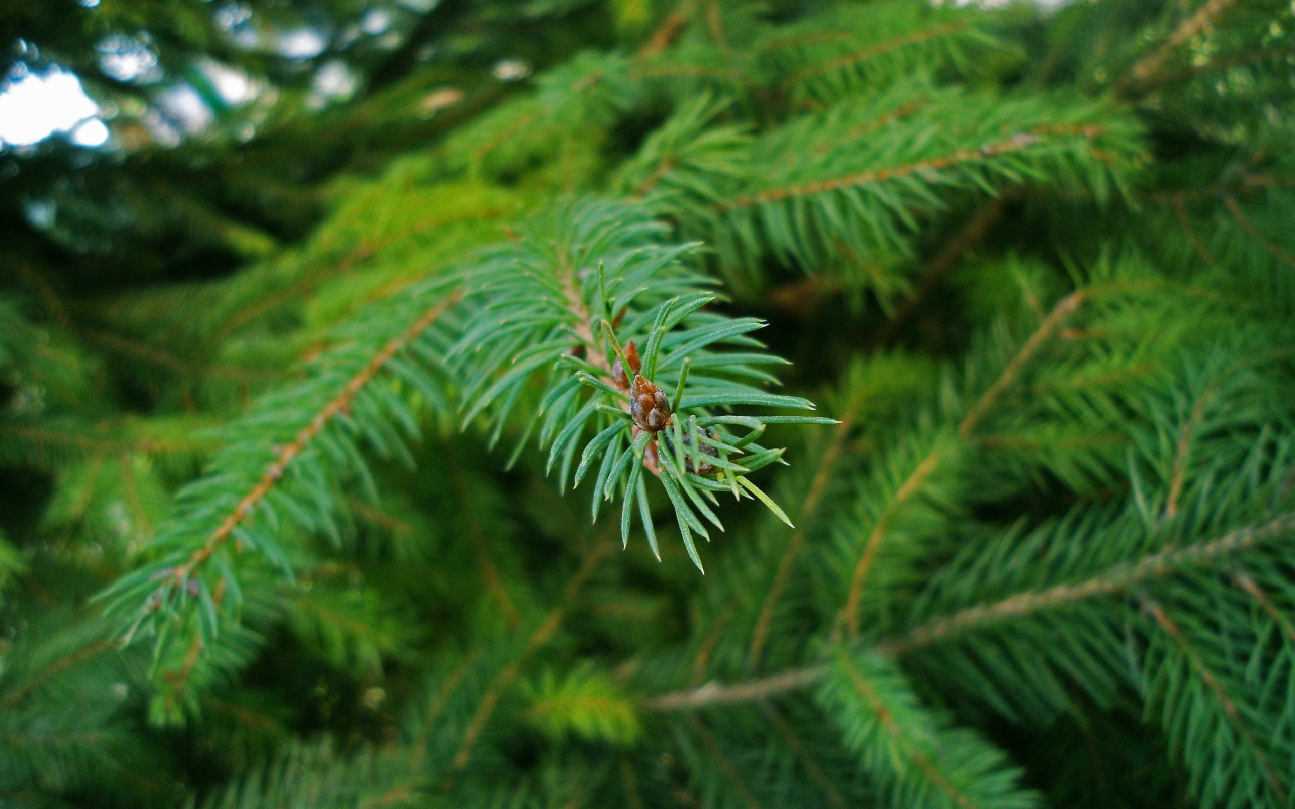 Натуральную ель собираются приобрести власти Рубцовска