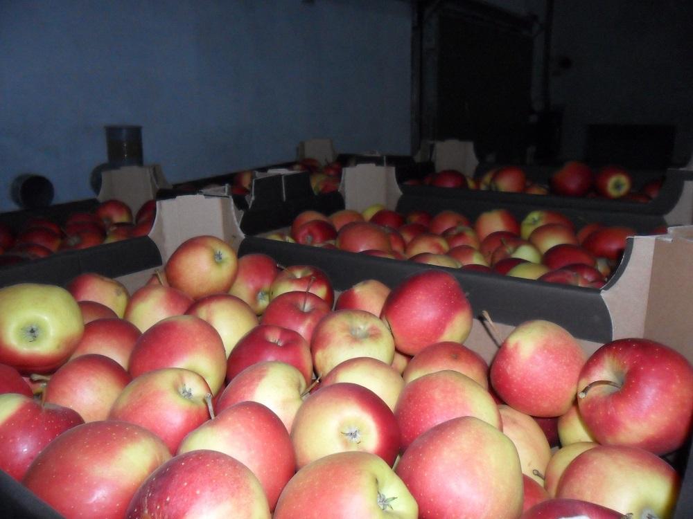 В Алтайский край пытались незаконно ввезти  более 20 тонн санкционных яблок