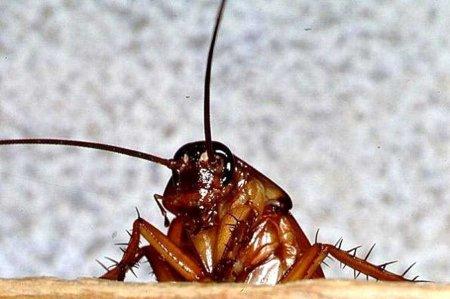 Стало известно, что тараканы представляют огромную значимость для Земли